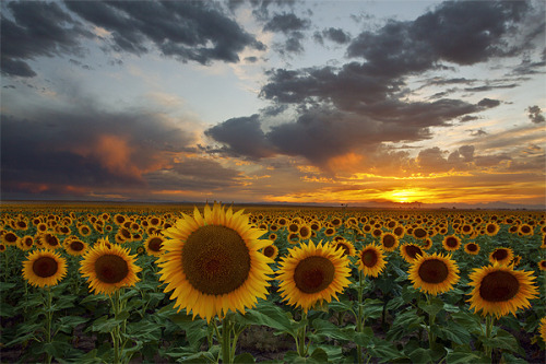 integral87:  Sunflower Field - Hudson, Colorado by Lightvision [光視覺] on Flickr.