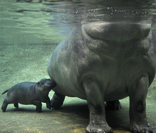 theanimalblog:  Mother hippo and baby hippo