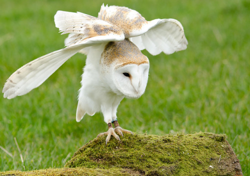 animals-animals-animals:  Barn Owl (by DarrelBirkett)