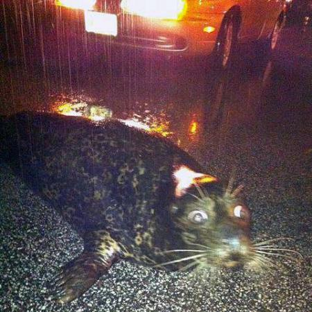 mprnews:  This seal is one of two that escaped from the Lake Superior Zoo in Duluth during last night's floods. It was photographed on Grand Avenue. Zoo officials say the seals were returned safely. (Photo courtesy of Kelli Latuska) See more photos from the flooding in NE Minnesota.