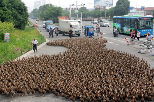 collegehumor:  Thousands of Ducks on a Walk Rush hour in China is weird.