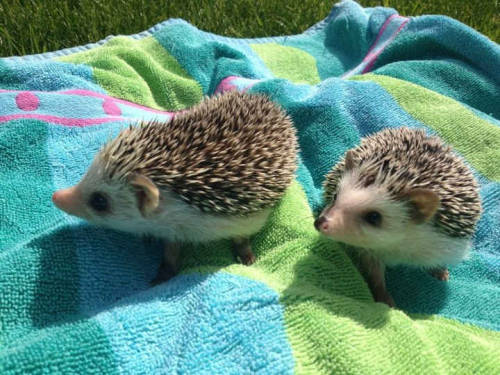 Hedgehogs playing outside