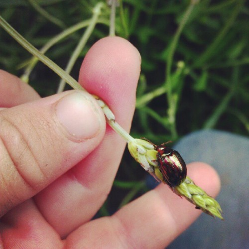 Rosemary leaf beetle  (Taken with Instagram)