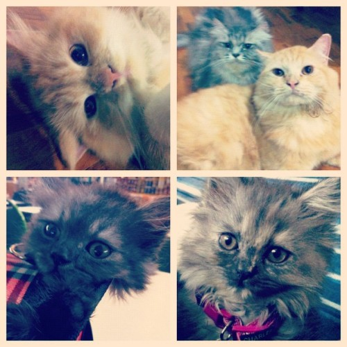 Babies!! :] #instagram #kitties #catsofinstagram #cats #cute #fluffy  (Taken with Instagram)