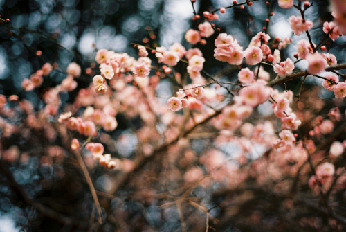 nudeblogger:  blooming now (by ditao)