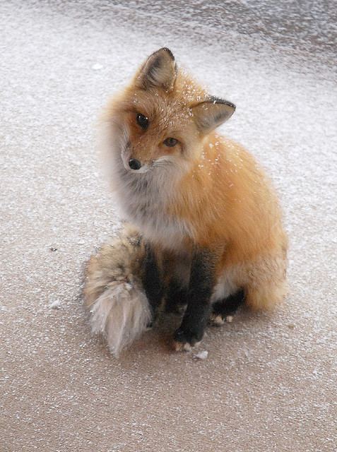 Snowy Fox by Rob Lee on Flickr.