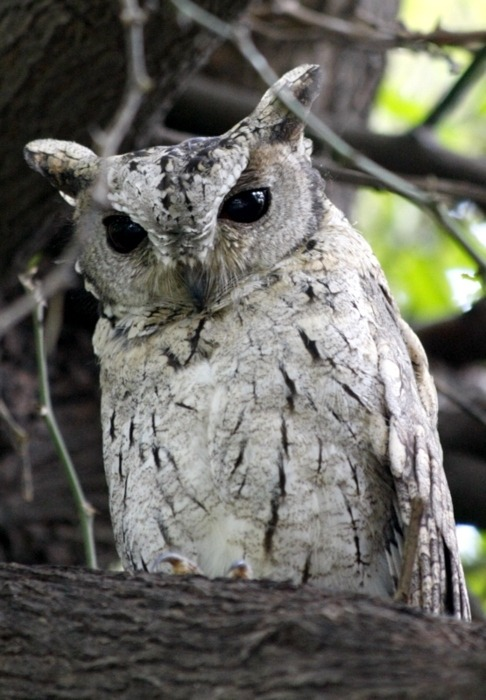 harvest-moons-and-halos:  Collared scops owl