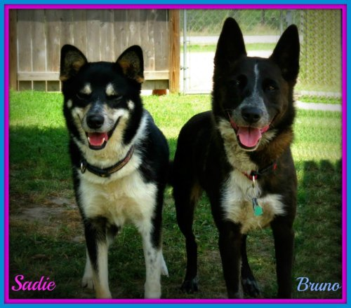 handsomedogs:  These two cuties are my current foster dogs! Bruno is a Blue Heeler mix and we think Sadie is either a Husky or Shiba Inu mix. Whatever they are the are gorgeous and have the greatest personalities. They are a bonded pair and are looking for a home together, they are great dogs :) (They're available through the Bastrop County Animal Shelter in Bastrop, Texas if anyone is curious!) Submitted by FictionIncarnate
