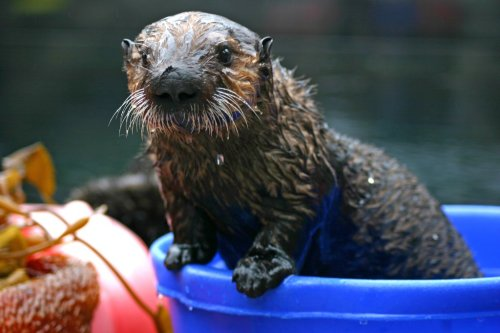 montereybayaquarium:  The California State Sea Otter Fund passed, and not just by a whisker! The fund now has $288,817 to support sea otter research and conservation in 2012. Thanks for checking the box on your state tax form!  If you've yet to file for 2011, you can still contribute.