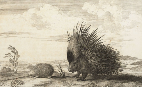lindahall:  Detail from an illustration comparing the hedgehog and the porcupine, in Claude Perrault's 1676 Memoires pour servir a l'histoire naturelle des animaux.