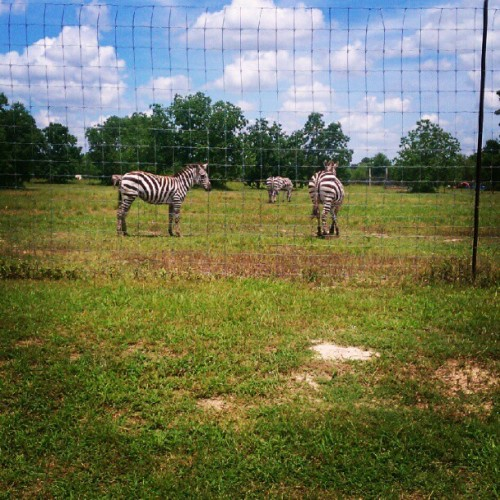 Zebraaassssss !!!! :D (Taken with Instagram)