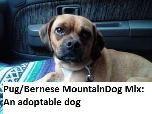 If by pug/Bernese Mountain dog mix you mean pug/beagle/something mix, then yes, this is definitely a pug/Berner mix.