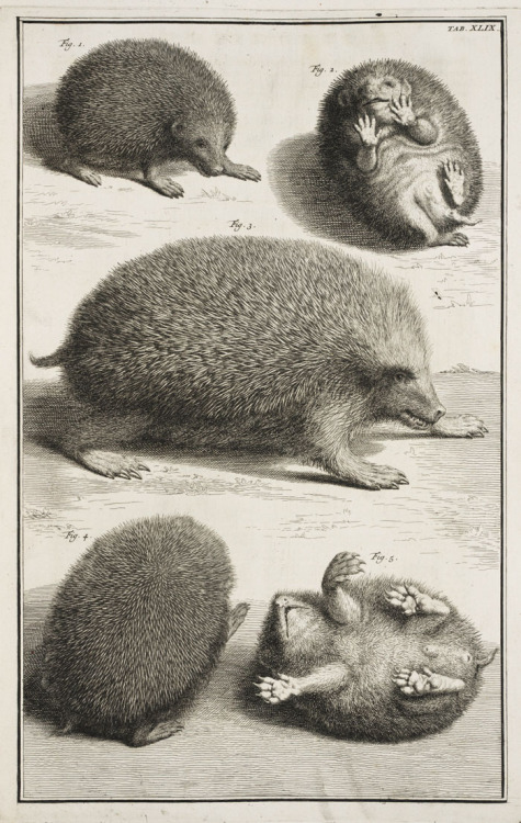 lindahall:  The hedgehog seen from several views from Albertus Seba's magnificent 1734 natural history, Locupletissimi rerum naturalium thesauri accurata descriptio.