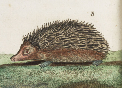 lindahall:  Hand-colored hedgehog, detail from the 1792 edition of Buffon's Natural history, abridged, by Georges Buffon.