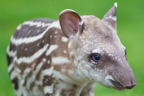 (via Finest Photos Of A Baby Tapir ZooBorns Ever Saw! - ZooBorns)