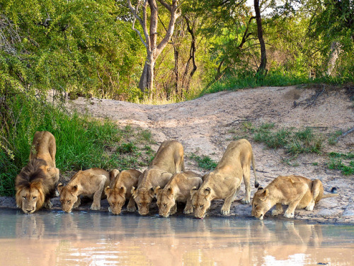 tigersandcompany:  Pride at the waterhole (by Brett Durrant)
