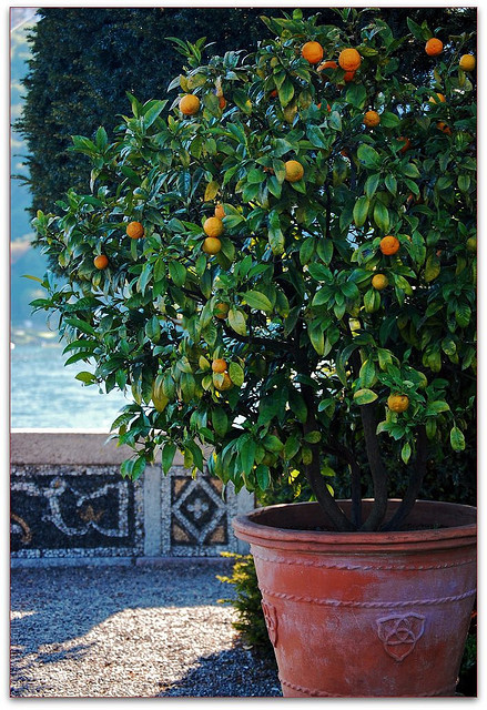 | ♕ |  Orange tree - Isola Bella, Lake Maggiore  | by © Noelle Smith  via ysvoice : carpediem323