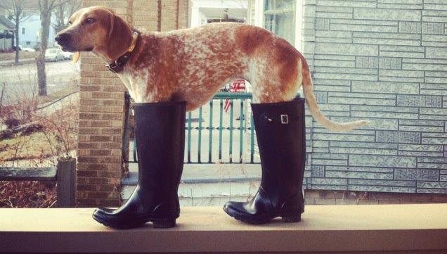 Dog in wellies, enough said!