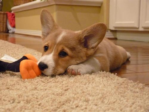 corgiaddict:  Meet Chloe, the cutest corgi we've ever seen.