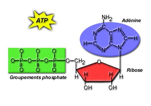 sugaratoms:  ATP, easy as 123. ATP is the renewable energy source for our cells. It consists of 3 phosphates, a sugar and an adenine ring. The bond between the last 2 phosphate groups is a weak unstable bond. When broken, ATP is changed to ADP and a phosphate, releasing energy to be used in cellular reactions. ATP stores regenerate when energy from respiration reactions is used to reattach the phosphate a an ADP. ATP is soluble and hence easily transported. Every chemical reaction in every cell requires or produces ATP molecules. Most ATP is made in the mitochondria and diffuses into the cytoplasm and to membranes. ATP is used in movement, locomotion, structure, metabolism, synthesis, active transport, cellular signalling, DNA and RNA synthesis.