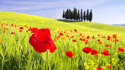 Red Poppies, Tuscany.