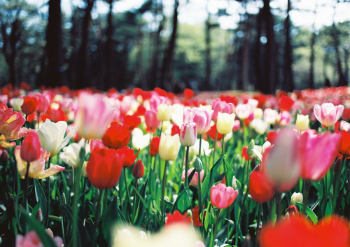 over-ture:  TULIPS (by mikkiki.photography)