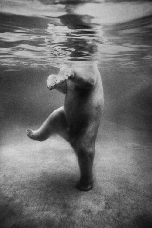 vvolare:  A polar bear seen underwater at a London zoo in 1967 by Terry Spencer