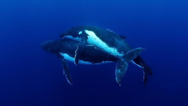 "This is the first time Humpback Whale, Megaptera novaeangliae, mating has ever been documented / Pic: Jason: Edwards.  Australian photographer Jason Edwards, who took the images off Tonga, was stunned by the ""brief but tender"" copulation. While humpback ""heat runs"" - in which 15m-long, 40-tonne males fight to win a female's attention - have been well documented, and often wrongly described as mating, this is the first time the actual act of copulation has been photographed, the National Geographic Channel said. ""It was amazing. There were four or five males vying for her attention and while the larger ones were busy jostling each other, the smallest one swam away with the female,"" Mr Edwards said yesterday. ""Their coupling lasted less than 30 seconds, which might explain why it's never been captured on film before."" 30 seconds in heaven is better than 20 seconds in heaven."