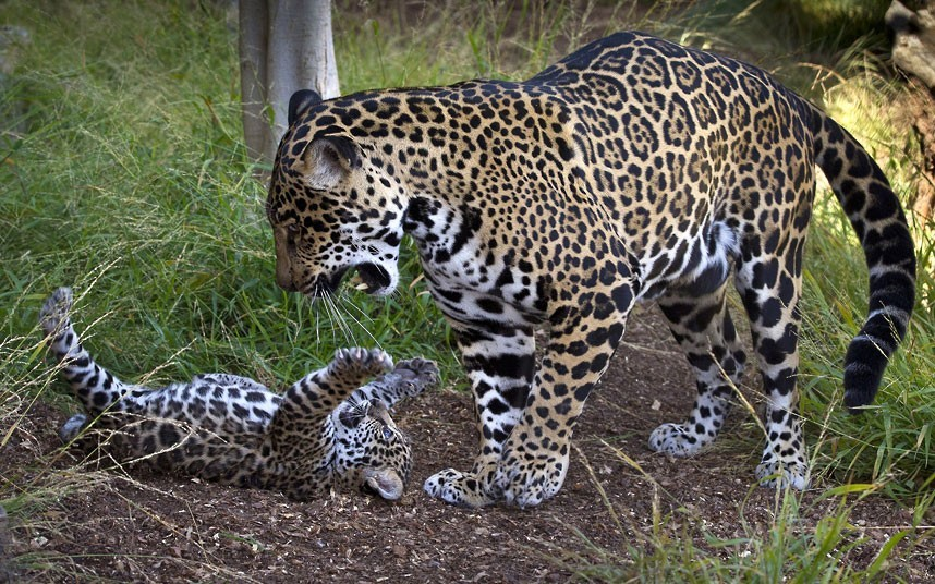 theanimalblog:  A jaguar cub bats at his mother while she stands over him at the San Diego Zoo in California.  Picture: KEN BOHN/AFP/GettyImages