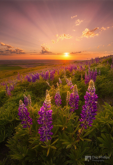 Palouse Lupine Rays by Chip Phillips on Flickr.