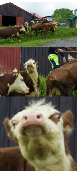 collegehumor:  Stupid Looking Cow What're you looking at?