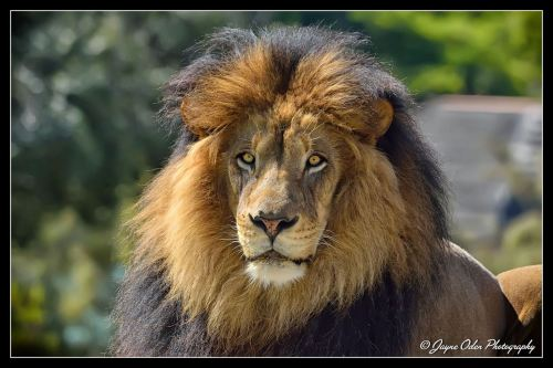 The king of the Safari Park, Izu by Jayne Oden via Facebook