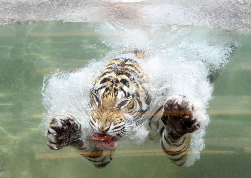 mothernaturenetwork:  Photo of the day: Diving into summerAkasha, a Bengal tiger, dives into the water after a piece of meat on June 20 at the Six Flags Discovery Kingdom in Vallejo, Calif.