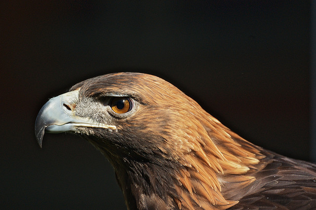 The golden eagle is an endangered species within Ontario. Golden eagles have a wingspan that reaches beyond 2 metres. They can dive at speeds faster than 200 kilometres per hour.  Photo credit: Ed Gaillard