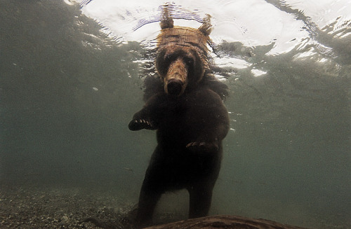 blua:  Randy Olson photographs a bear fishing for food.