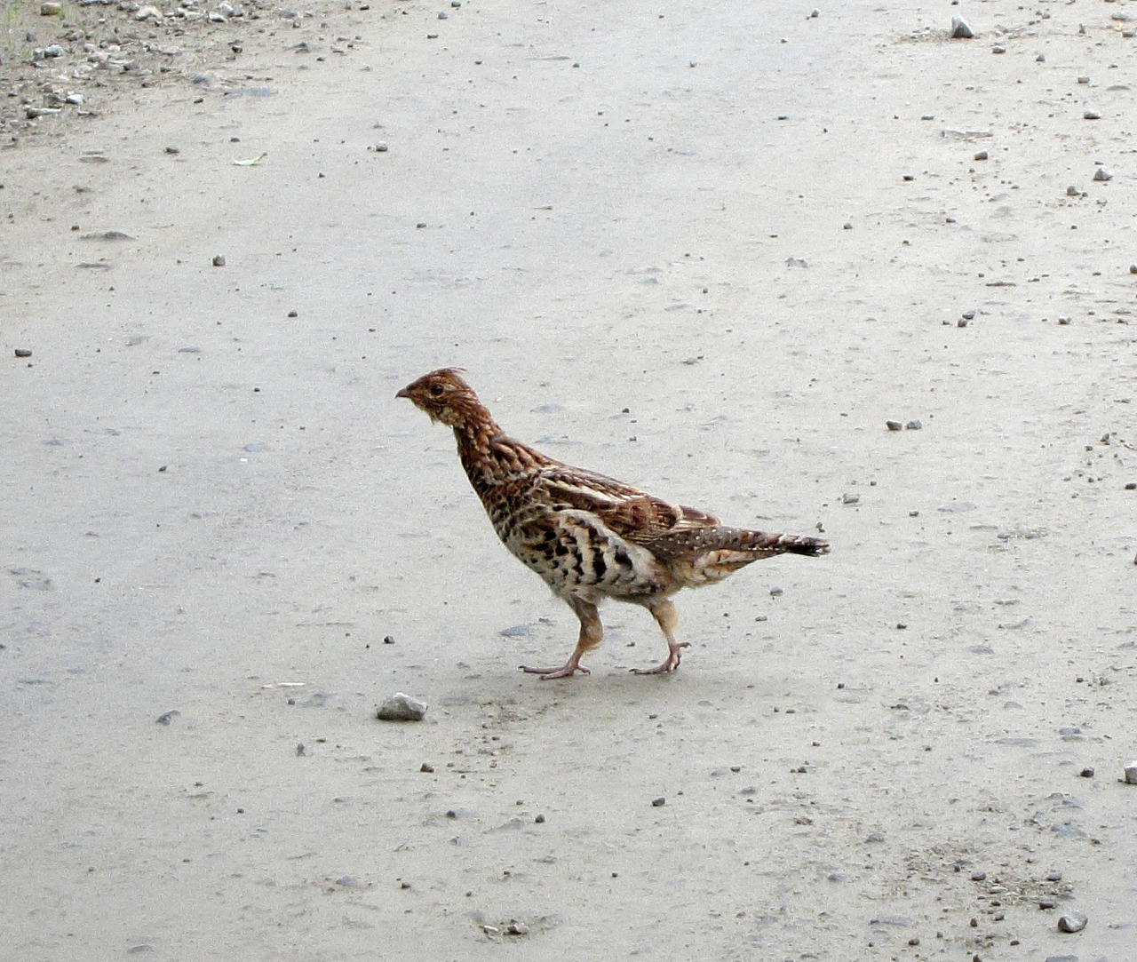 Anyone know what type of bird this is? He walked slowly in front of my car before disappearing into the bushes.