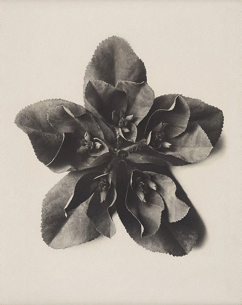 (via Euphorbia helioscopia, Sun spurge, 5 x enl., (1915-1925) by Karl Blossfeldt :: The Collection :: Art Gallery NSW)