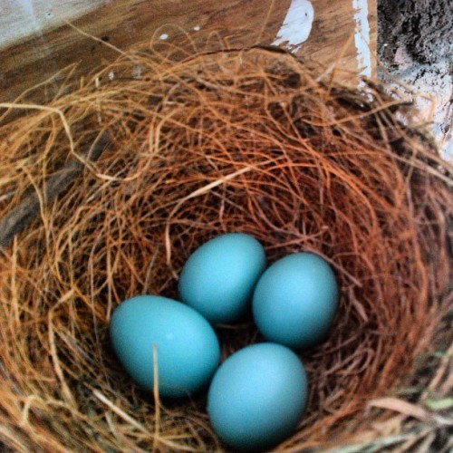 Look what I found!! Can't wait for them to hatch!! #robineggs #nest #birdies (Taken with Instagram)