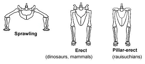 The 3 main types of hip joint in tetrapods. Typical of reptiles, dinosaurs & mammals, and rauisucians respectively.