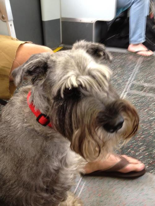 Greetings Gretel! Schnauzer seen by Becky Nutland on the District Line on the London Undergound - June 2012
