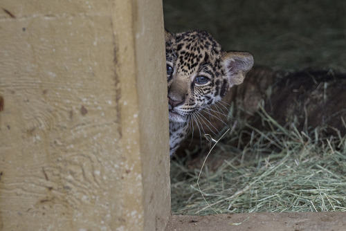 sdzoo:  Nighttime Zoo is just around the corner. Come on out, don't be shy.