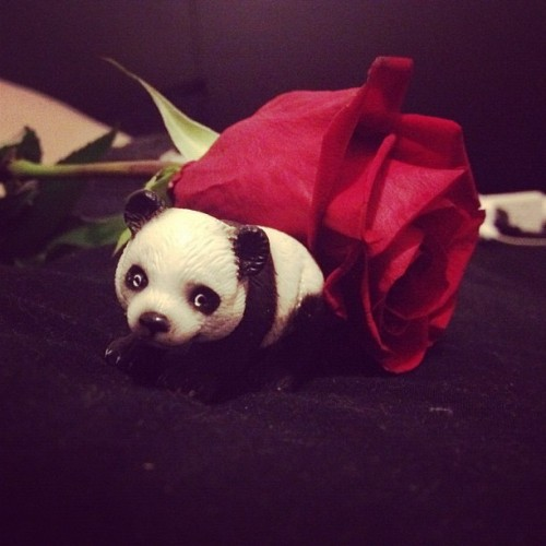I can be a bit cute 😜 #rose #panda #cute #corny #self (Taken with Instagram)
