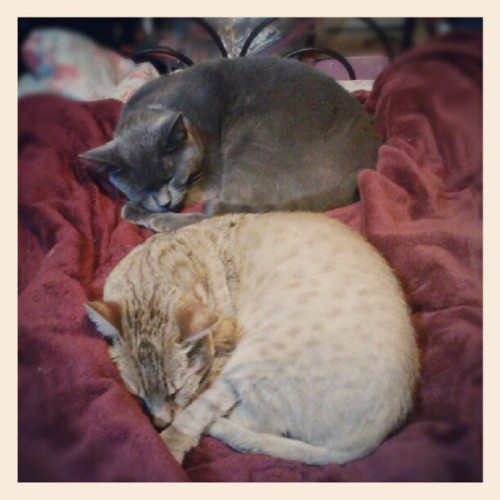 #SirIan and #Sunshine #cats demonstrate the fine art of Synchro-sleeping. #catsofinstagram #cat #pet #cute #webstagram #instahub #instagramhub  (Taken with Instagram)