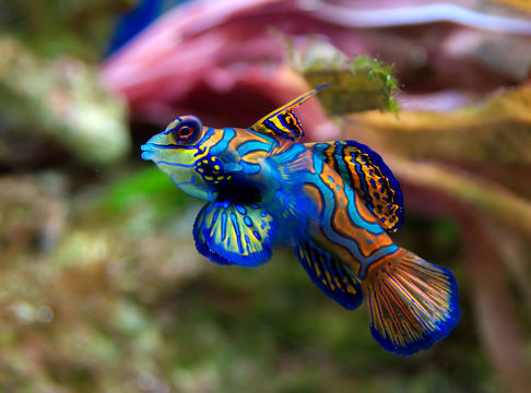rhamphotheca:  Mandarinfish (Synchiropus splendidus) Mandarin fish secrete mucous that has an unpleasant smell and a bitter taste. They also have a layer of sacciform cells on the skin which produce and release substances with some toxins. It is suggested that this secretion is used as a repellent from predators and other competitive fish. The significance of the vibrant display of colors of the species is not known. However, it probably makes them highly conspicuous when feeding and mating and may be an aposematic warning. Mandarin fish feed on the bottom. They eat small crustaceans such as amphipods and isopods, small worms and protozoans. Much of its food intake is found living in the reefs and other live rock. If there is a substantial amount of live rock, mandarin fish do not need any other outside source for food. In captivity, the fish usually do not eat prepared food, therefore it becomes difficult to maintain them. They need a great supply of live rock to feed. Mandarin fish have a relatively small mouth, therefore they eat only small food items … (read more: EOL)         (image: Luc Viatour)