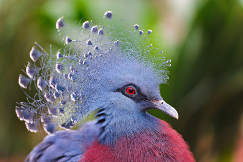 Mas Gente! theanimalblog:  Victoria Crowned Pigeon (by Tambako the Jaguar)