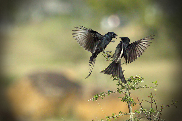 ♥ The Drongo Love ♥ Happy Valentine's Day ♥ by VinothChandar on Flickr.