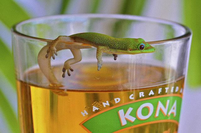 Gecko and a beer, Kona, Hawaii by SteveD. on Flickr.Can you share your beer from Kona Brewing Co.?