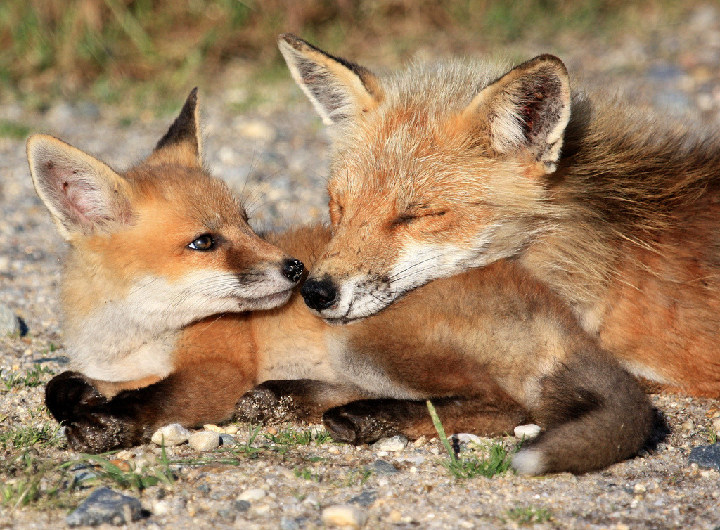 magicalnaturetour:  Fox kit pillow (by babyruthinmd) :)