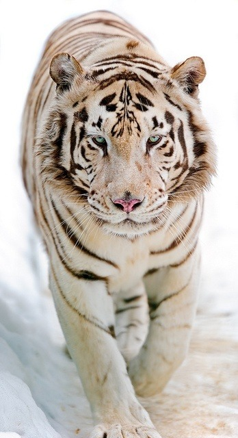 gabimayumi:  White tiger walking in the snow II by Tambako the Jaguar on Flickr