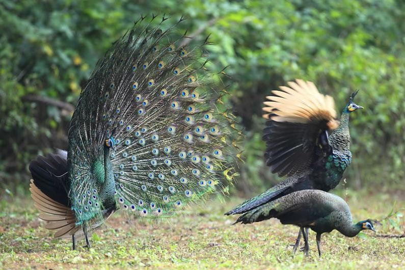 In winter, the male green peafowl performs a courtship display. By Wanchanok Suvarnakara and Narong Suwannarong Phu Khieo Wildlife Sanctuary in Thailand – a photo gallery